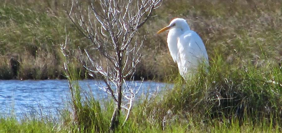 Great Egret on shoreline of Mobjack Bay